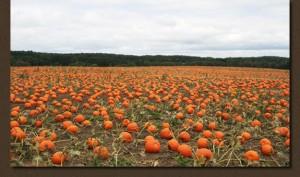 pumpkins-field
