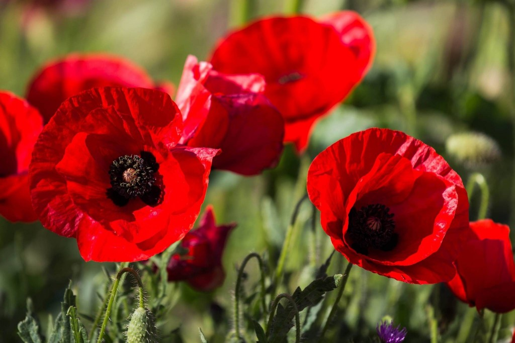 poppy-seeds-flowers-248967
