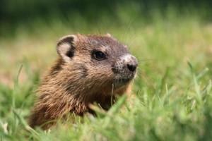 awesome groundhog