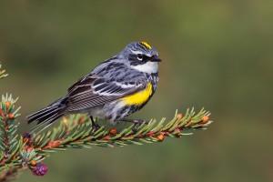 8951_Yellow-rumped_Warbler_06-04-2012_3
