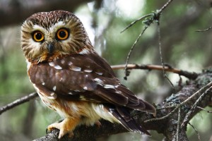 Northern Saw-whet_Owl_KameronPerensovich_FlickrCC_314