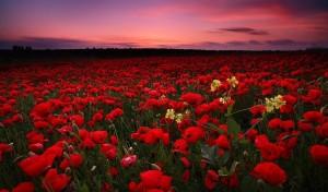 Poppies_1024x600